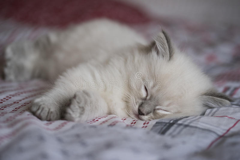 Chaton de Ragdoll photo libre de droits