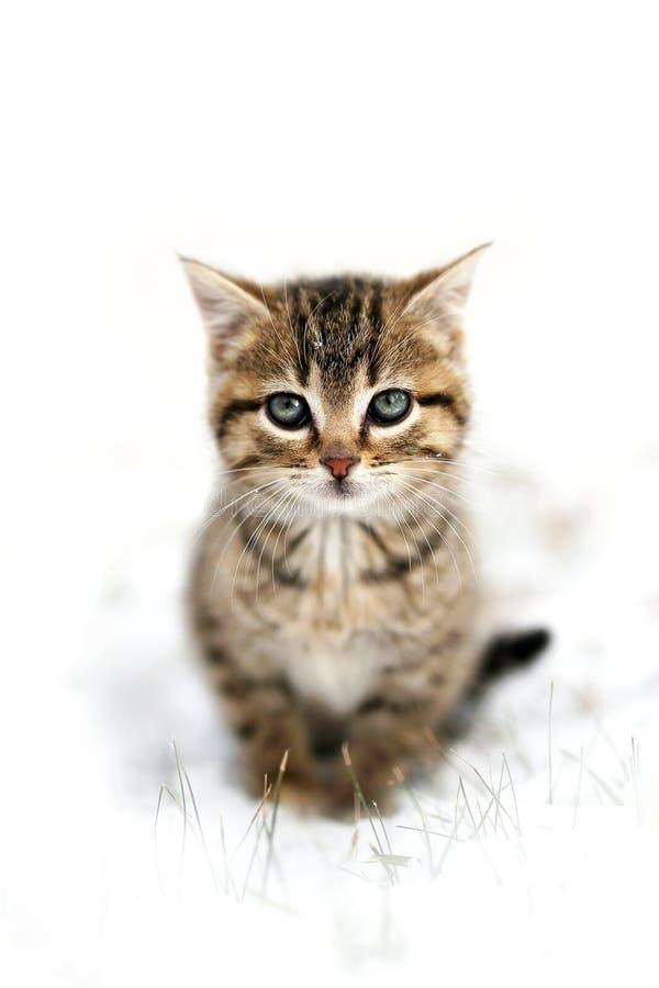 Chaton domestique gris de chat tigré de shorthair se reposant dans les toilettes de neige photos stock
