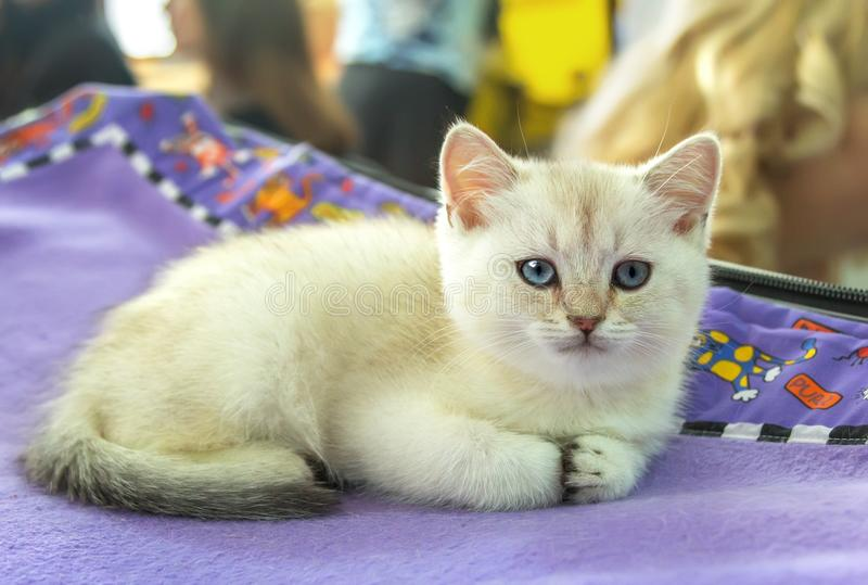 Chaton droit écossais avec les yeux bleus et la fourrure beige photo libre de droits