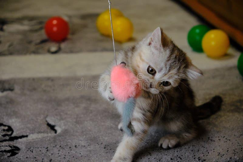 Chaton droit écossais jouant avec des jouets à la maison Scared a barré le chaton avec les yeux verts images libres de droits