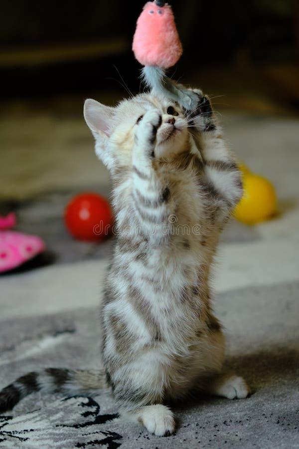 Chaton droit écossais jouant avec des jouets à la maison Scared a barré le chaton avec les yeux verts photo libre de droits