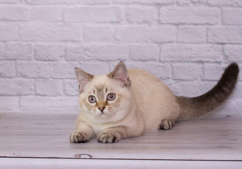 chaton droit écossais sur les jeux d'un fond d'isolement par brique légère photographie stock libre de droits