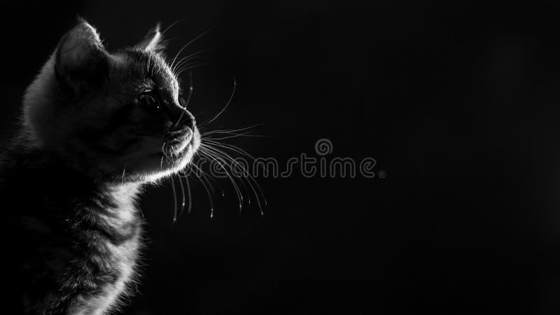 Chaton droit écossais tigré de marbre de portrait Rebecca 36 images stock