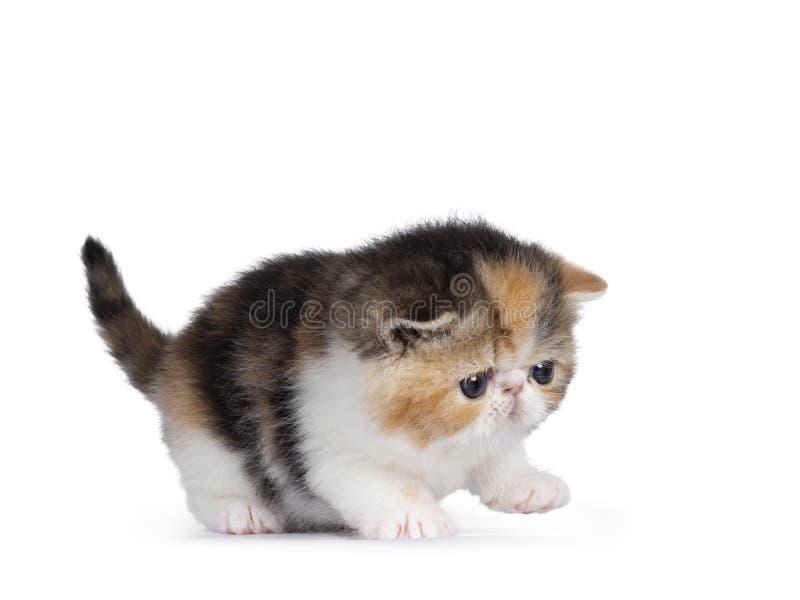 Chaton exotique minuscule de Shorthair sur le blanc photo stock