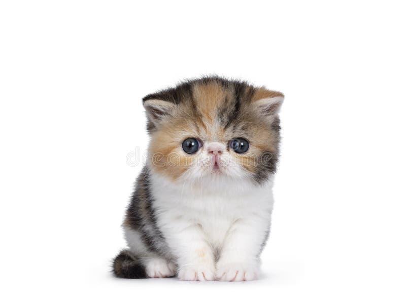 Chaton exotique minuscule de Shorthair sur le blanc photographie stock libre de droits