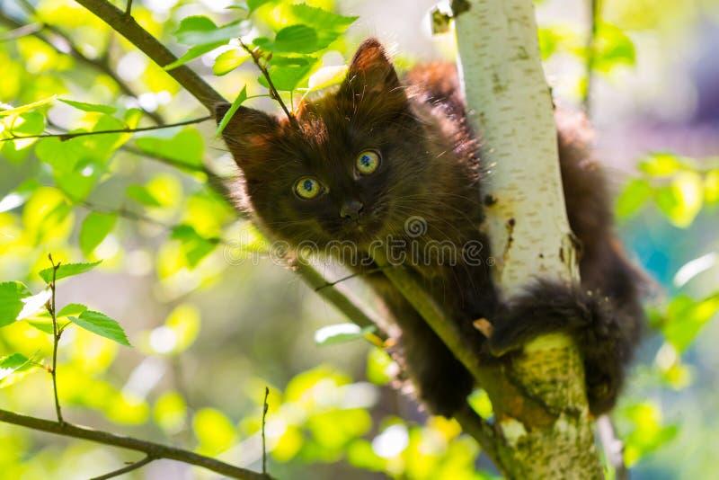 Chaton foncé dans un arbre sur un fond des feuilles du bouleau photos stock