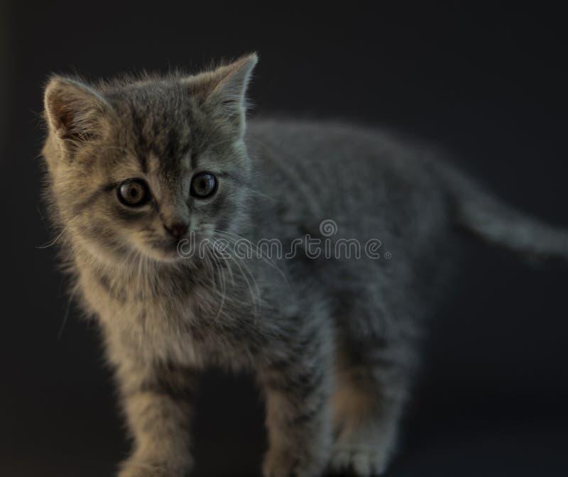 Chaton gris mignon avec le fond noir photos stock
