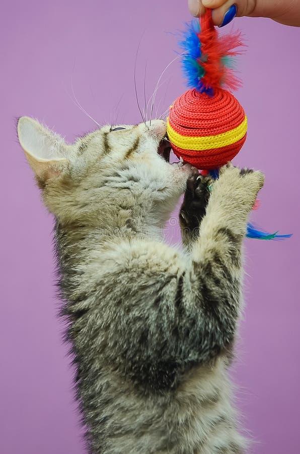 Chaton gris mignon jouant avec un jouet photos libres de droits
