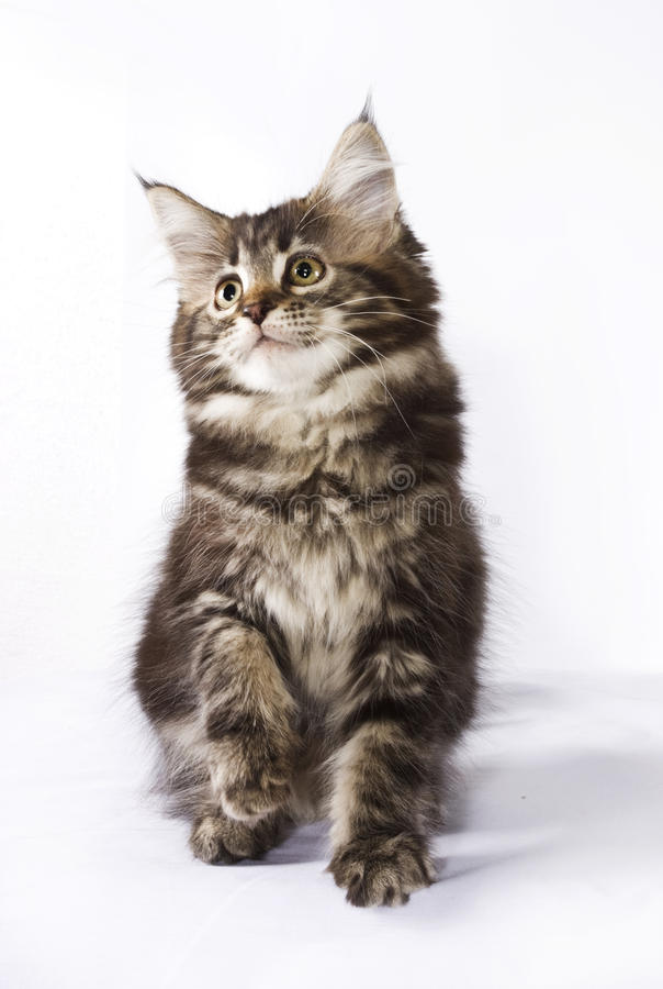 Chaton - Maine Coon Cat image stock