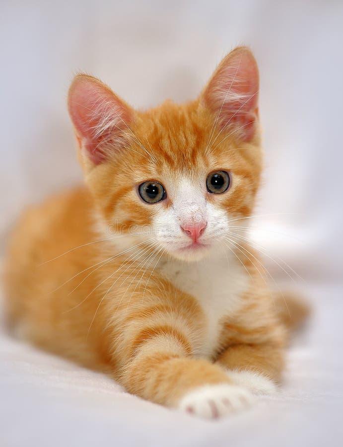 Chaton mignon de gingembre avec des yeux bleus photos libres de droits