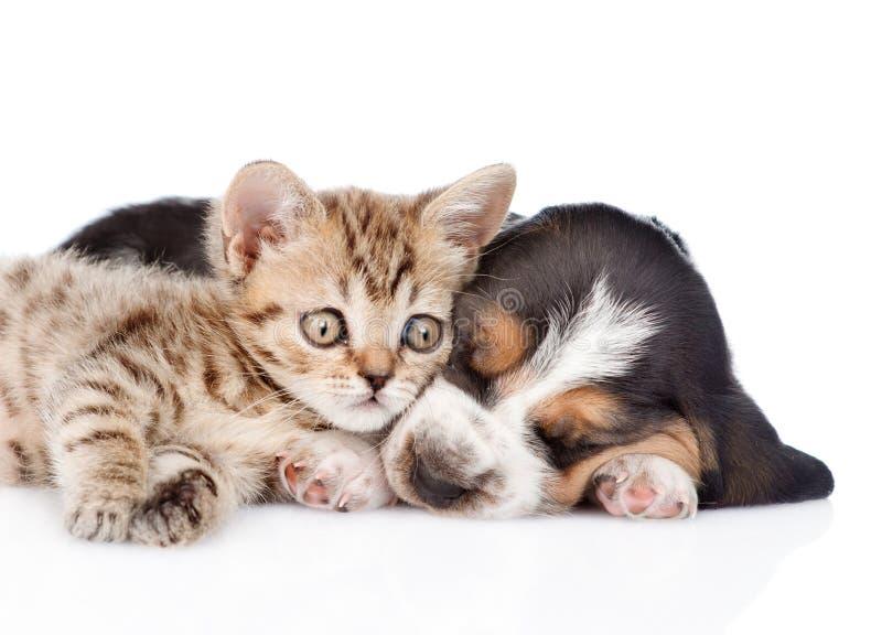 Chaton mignon se trouvant avec le chiot de chien de basset de sommeil D'isolement photos libres de droits