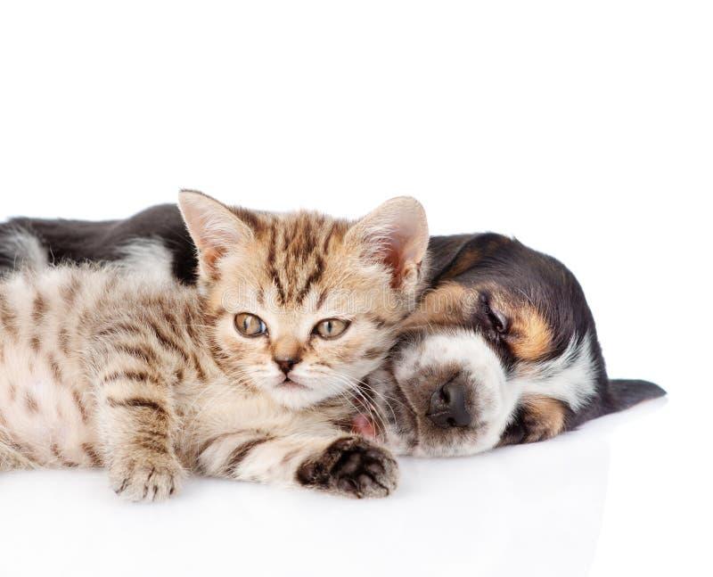 Chaton minuscule se trouvant avec le chiot de chien de basset de sommeil D'isolement sur le blanc images stock