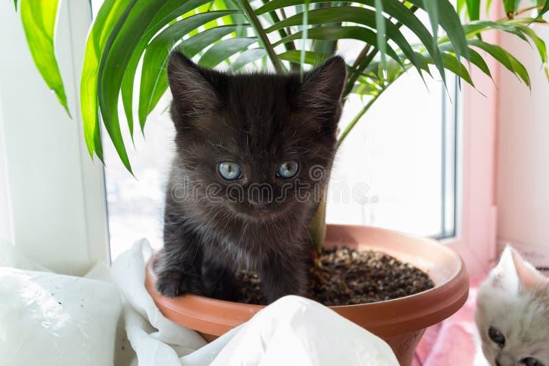 Chaton noir drôle se tenant dans un pot dans un palmier images libres de droits