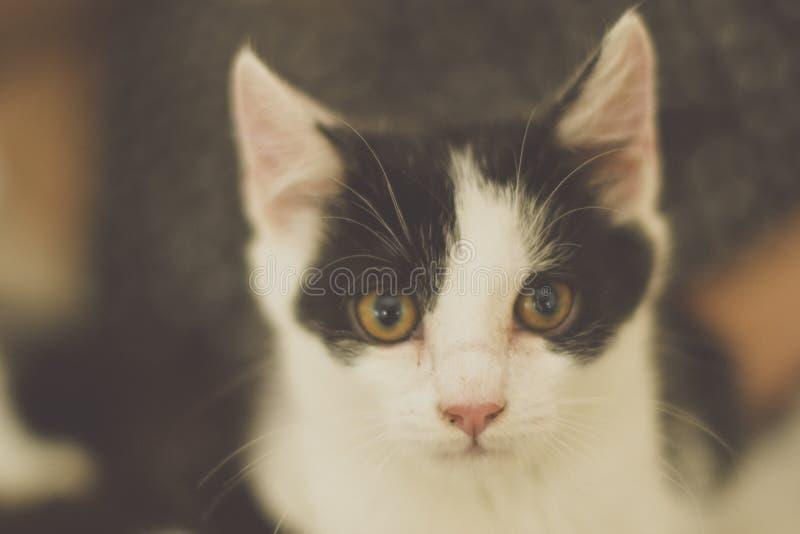 Chaton noir et blanc avec les yeux verts, photo modifiée la tonalité chaude images libres de droits