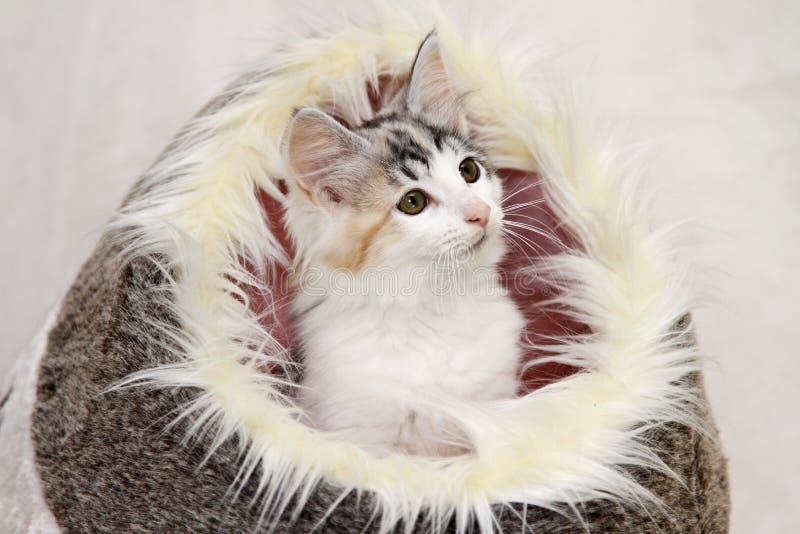 Chaton norvégien de chat de forêt image libre de droits