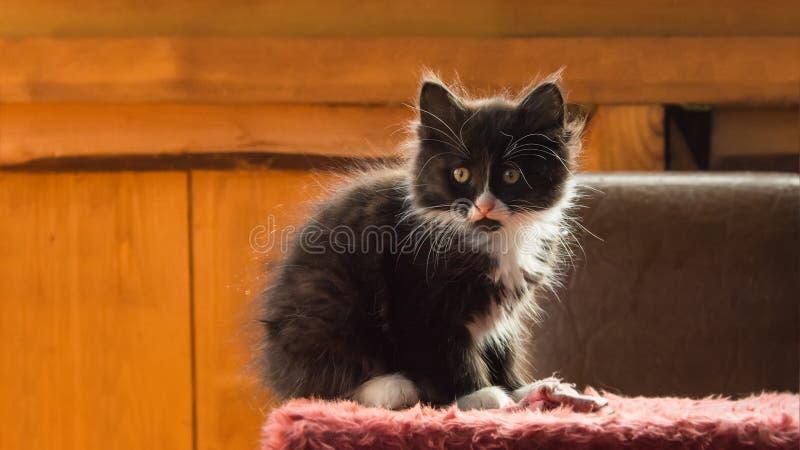 chaton pelucheux image stock