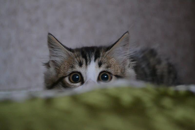 chaton pelucheux photo stock