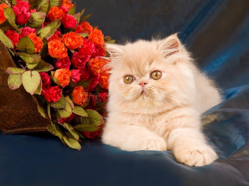 Chaton persan assez mignon avec des roses images stock