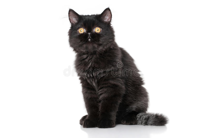 Chaton persan noir images stock