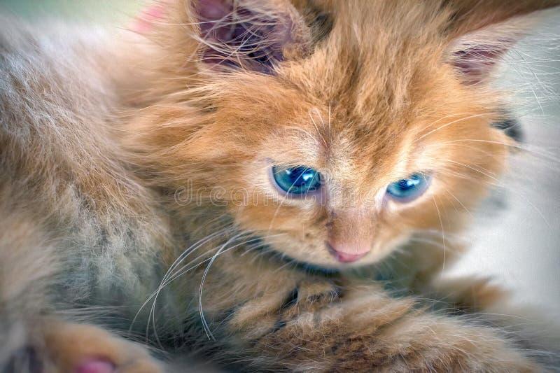 Chaton poilu orange avec des regards fixes d'yeux bleus photographie stock libre de droits
