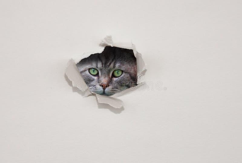 Chaton regardant par le trou dans le carton blanc Concept de surveillance ou de surveillance Concept de curiosité ou de vigilance photos stock
