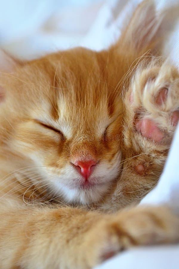 Chaton rouge de sommeil photographie stock