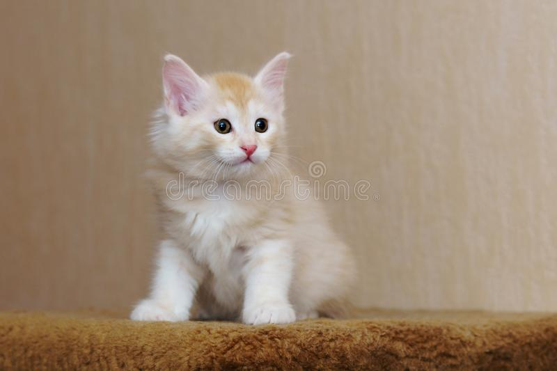Chaton rouge mignon photographie stock