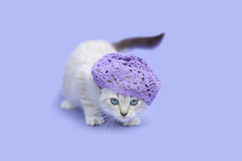 Chaton siamois blanc utilisant le chapeau pourpre, fond pourpre photos stock