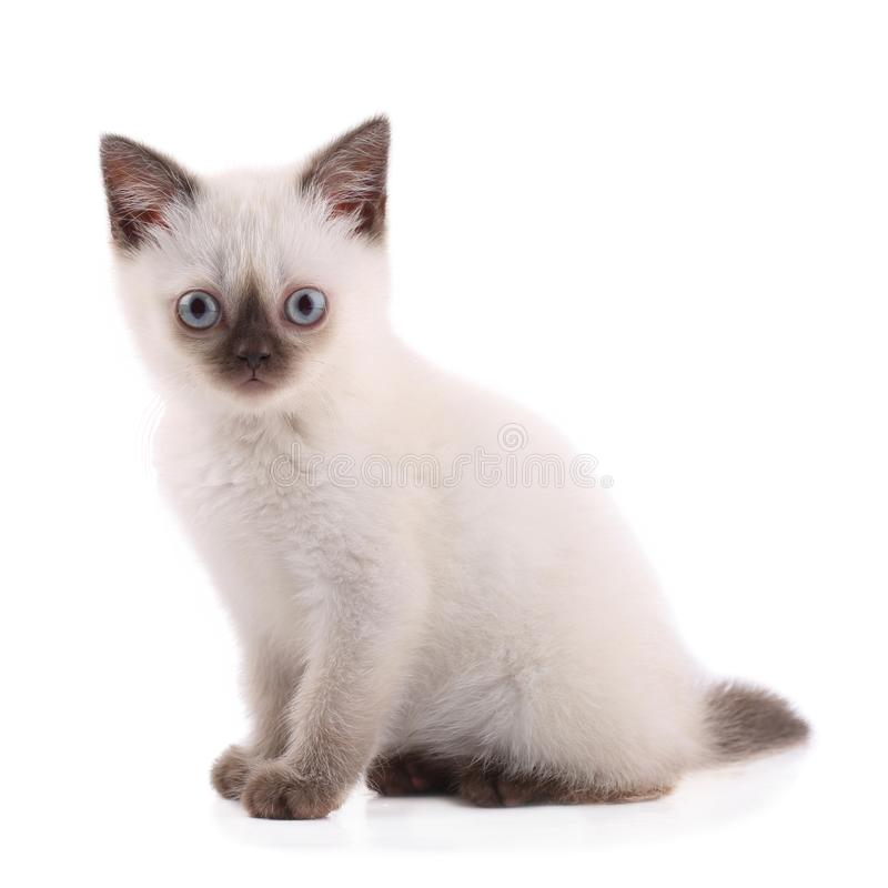 Chaton siamois d'isolement sur le blanc photographie stock