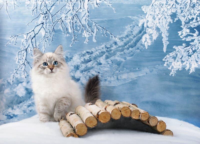 Chaton sibérien dans la neige photos libres de droits