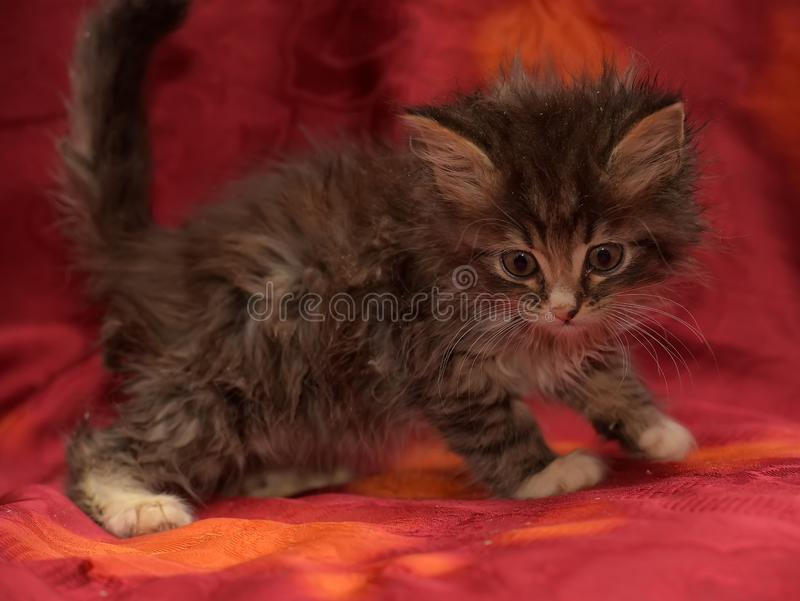 Chaton sibérien pelucheux sur un fond rouge photo stock
