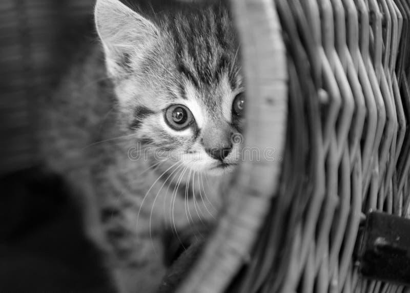 Chaton tigré dans le panier images libres de droits