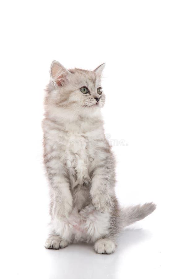 Chaton tigré de Cuye se tenant avec les jambes de derrière photographie stock libre de droits