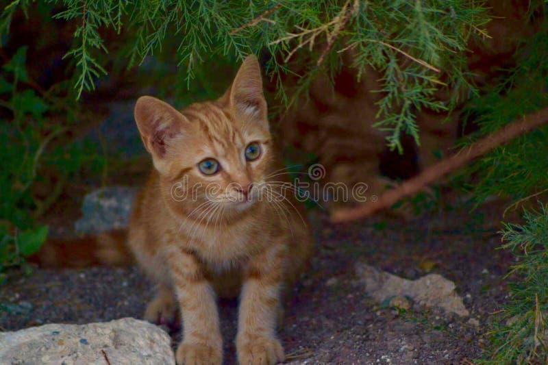 Chaton tigré rouge image libre de droits