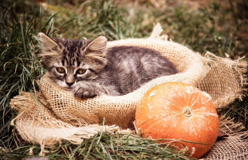 Chaton triste Chaton et potiron Chaton pendant l'automne dans le jardin photographie stock