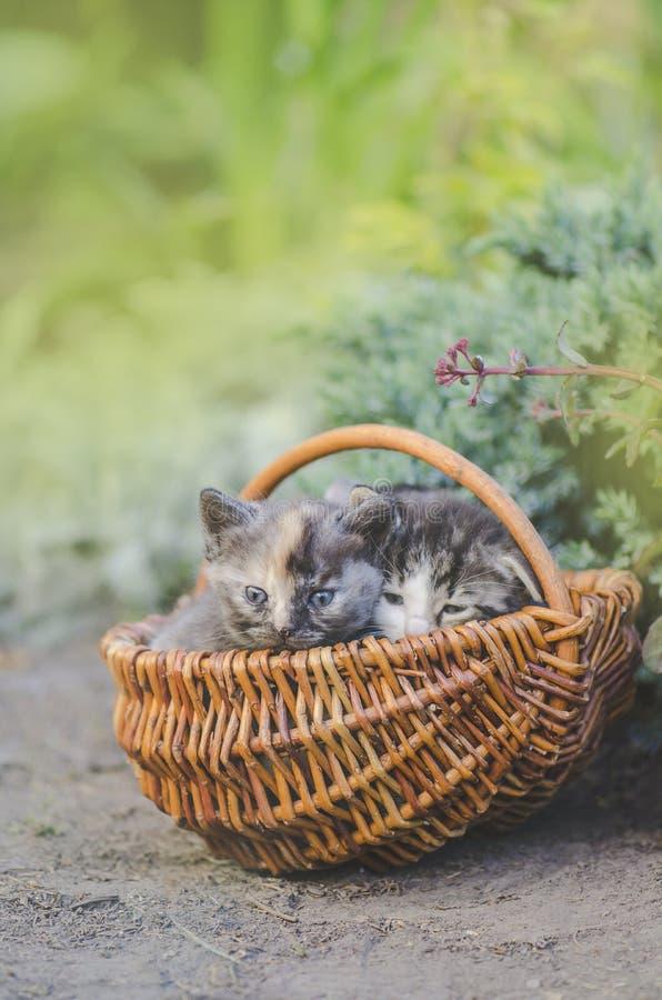 Chaton trois se reposant dans un panier dehors Groupe de trois petits chatons image stock