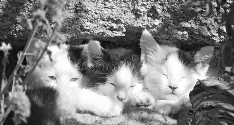 Chaton trois somnolent en noir et blanc photos libres de droits