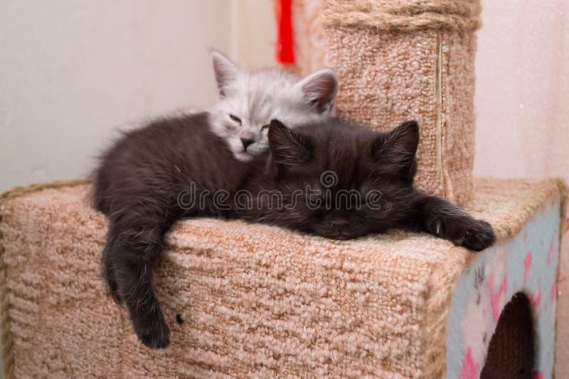 Chatons btitish mignons dormant sur la maison de chat images libres de droits