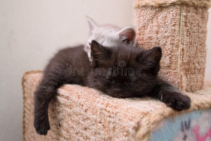 Chatons btitish mignons dormant sur la maison de chat photographie stock libre de droits