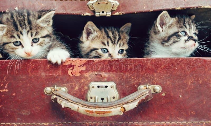 Chatons dans la valise image stock