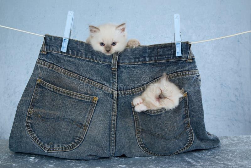 Chatons de Ragdoll dans la poche de pantalon images libres de droits