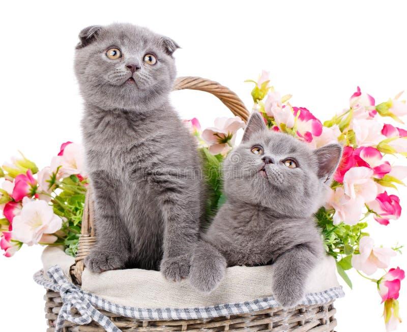 Chatons droits et écossais écossais de pli Chat deux dans un panier avec des fleurs photos stock