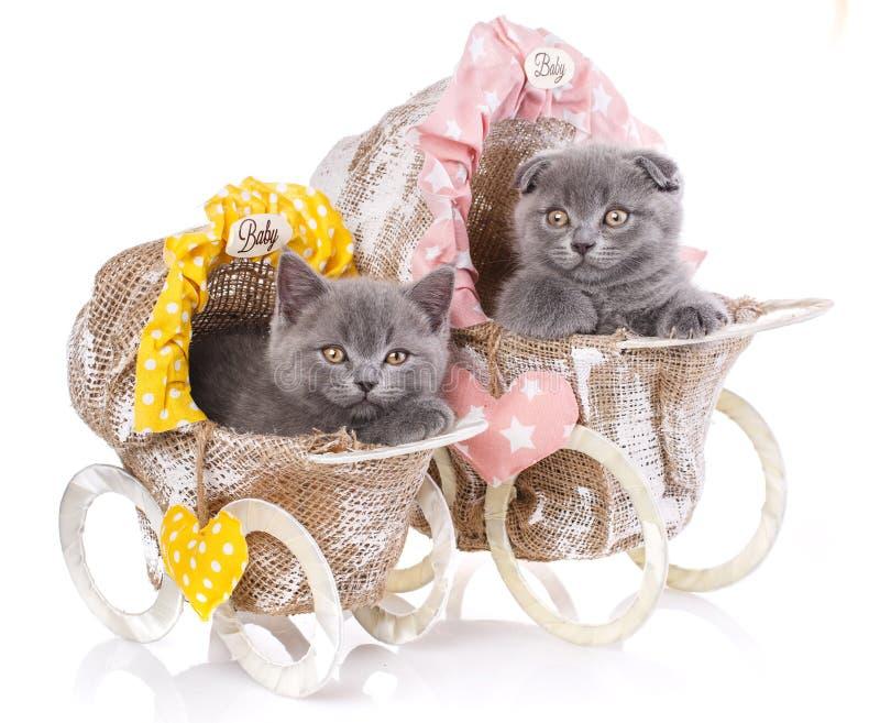 Chatons droits et écossais écossais de pli Les chatons drôles et velus regardent étroitement photo stock
