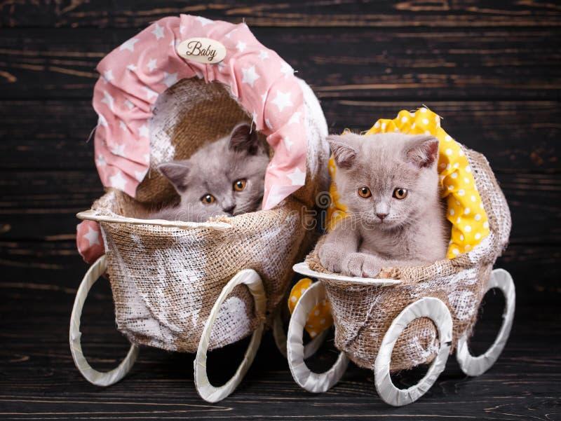 Chatons droits et écossais écossais de pli Photographie professionnelle des chatons photos stock