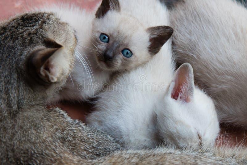 Chatons et chat de maman photos stock