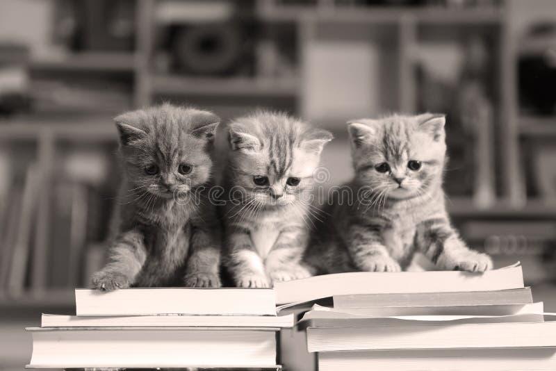 Chatons et livres des Anglais Shorthair images stock
