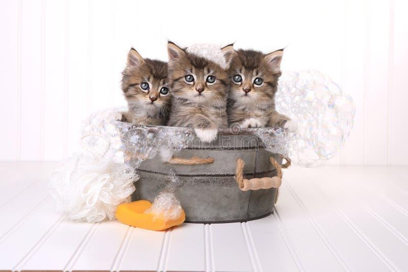 Chatons mignons dans la bassine obtenant toilettée par le bain moussant photos libres de droits