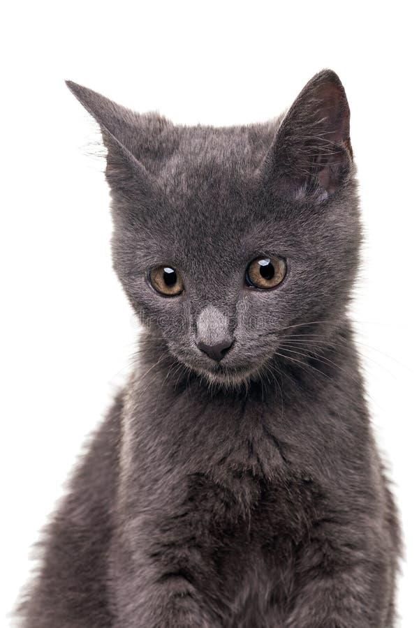 Download Chatreaux Kitten Stock Image - Image: 33068551