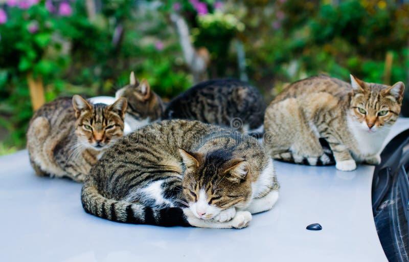 Chats égarés dormant sur la voiture image libre de droits