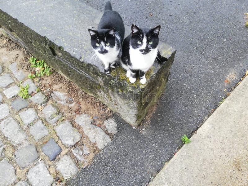 Chats de frère jumeau photo stock